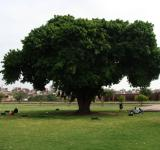 Free Photo - Tree by Lahore shahi fort