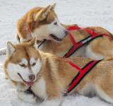 Free Photo - Husky dogs