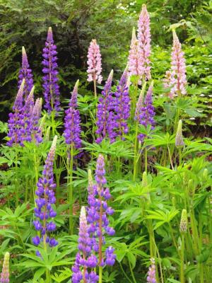 Lupine flowers - Free Stock Photo