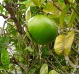 Free Photo - Grapefruit