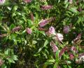 Free Photo - Hebe icing sugar shrub