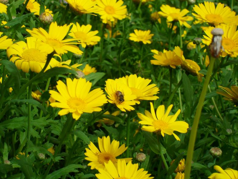 Free Stock Photo of Bee on yellow flowers Created by Ngaire