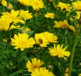Free Photo - Bee on yellow flowers