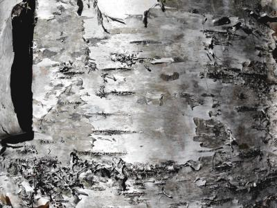 Birch tree texture - Free Stock Photo