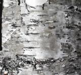 Free Photo - Birch tree texture