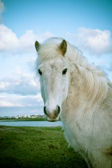 Icelandic Horse - Free Stock Photo