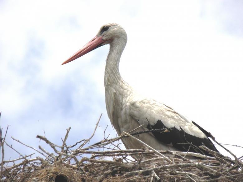 Free Stock Photo of Stork on its nest Created by Yuliy Ganev