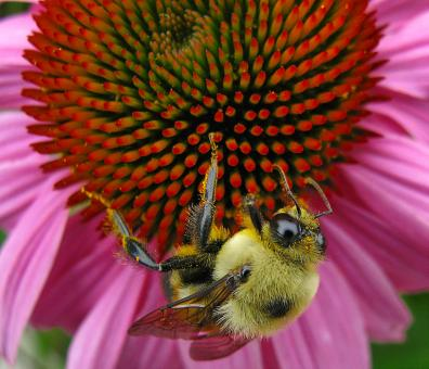 Echinacea Bee - Free Stock Photo