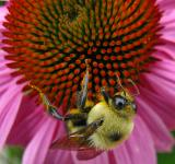 Free Photo - Echinacea Bee