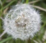 Free Photo - Dandelion flower in the wilderness