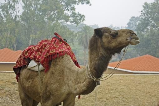 Camel with mount for riders - Free Stock Photo