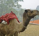 Free Photo - Camel with mount for riders