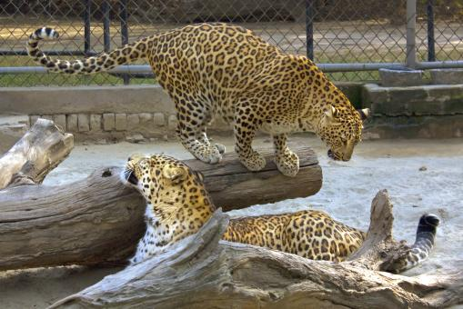 Leopard in Delhi Zoo - Free Stock Photo