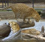 Free Photo - Leopard in Delhi Zoo