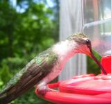 Free Photo - Bird drinking water