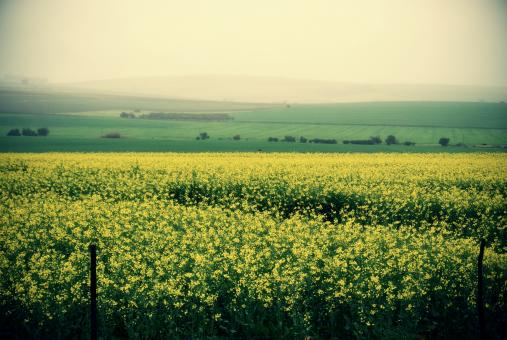 Field of Yellow - Free Stock Photo