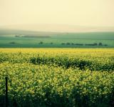 Free Photo - Field of Yellow