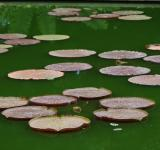 Free Photo - Lotus pond