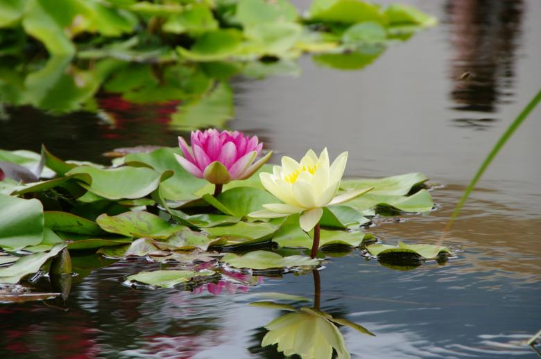 Free Stock Photo of Lotus flowers Created by Jose R. Valverde