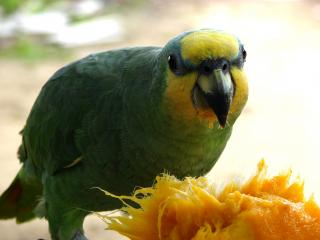 Parrot eating Mango Free Photo
