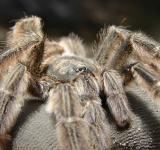 Free Photo - Tarantula