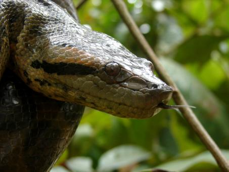 Anaconda in Tree - Free Stock Photo