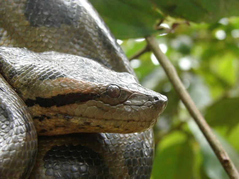 Anaconda in Tree Free Photo