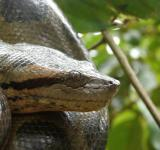 Free Photo - Anaconda in Tree