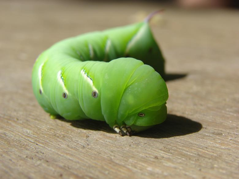 Free Stock Photo of Green Caterpillar Created by Stefan Giuliani