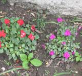 Free Photo - Red and Purple Flowers