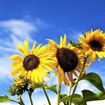 Sun Flowers - Free Stock Photo