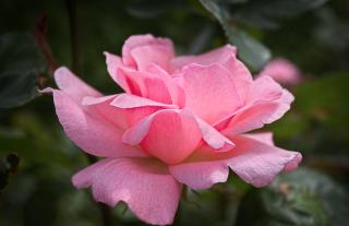 Download Pink Rose Free Photo