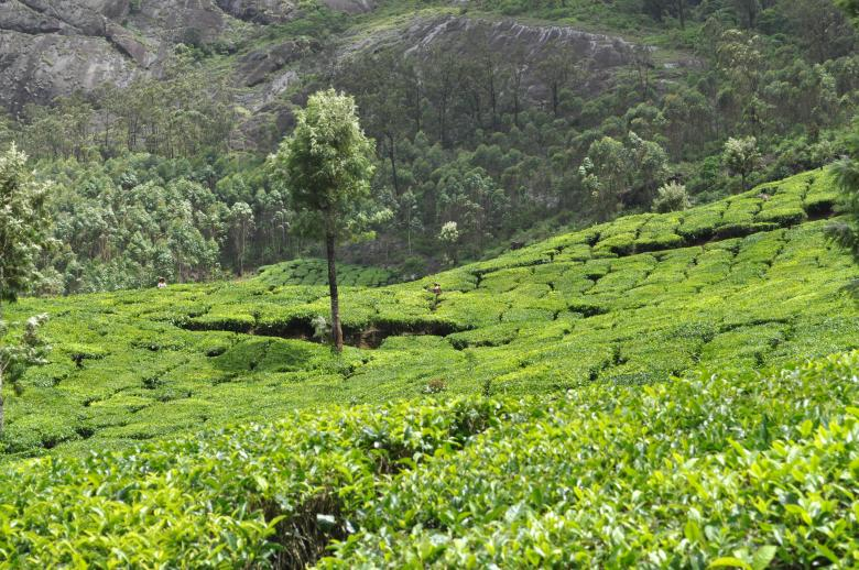Free Stock Photo of Tea Plantation Created by Sainath Chillapuram