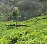Free Photo - Tea Plantation
