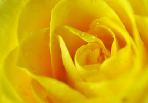 Yellow colored rose - Free Stock Photo