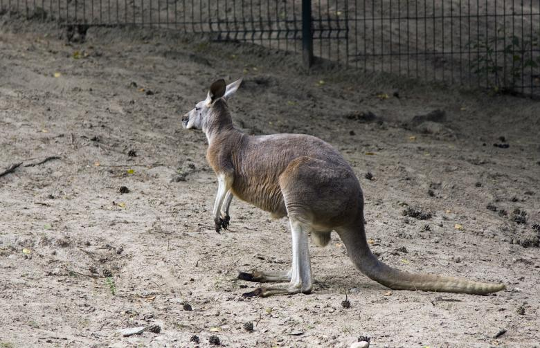 Free Stock Photo of Kangaroo Created by Jakub Krechowicz