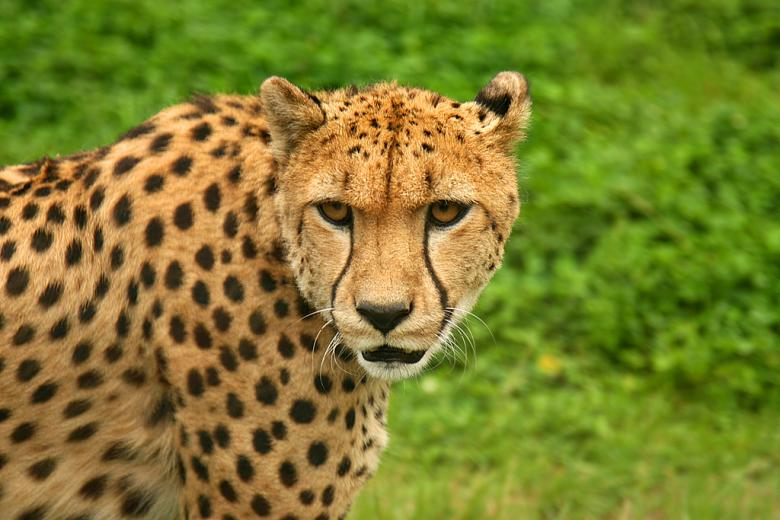 Free Stock Photo of Cheetah Created by Jakub Krechowicz