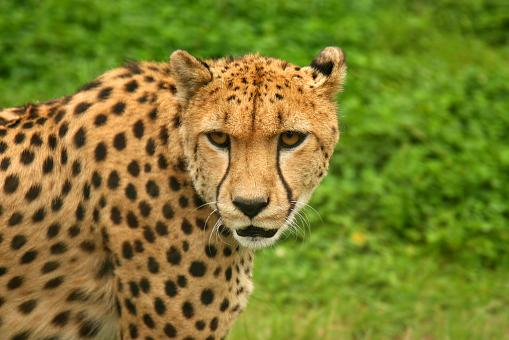 Cheetah - Free Stock Photo