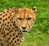 Free Photo - Cheetah