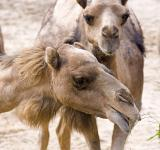 Free Photo - Camels