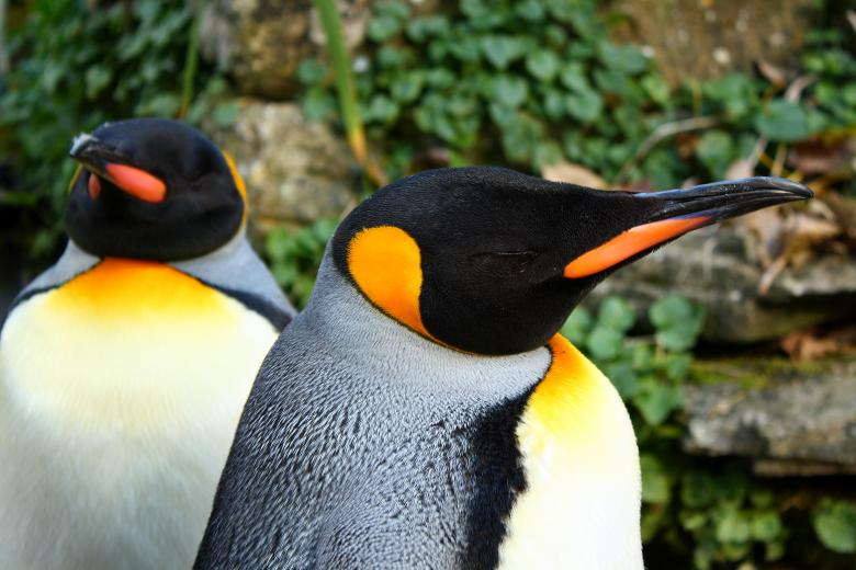 Free Stock Photo of Penguins Created by paul clifton