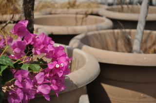 Bouganvilla and Terracotta Free Photo