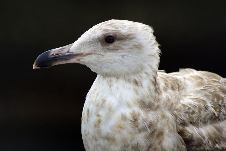 Free Stock Photo of Seagull Created by Brian Norcross