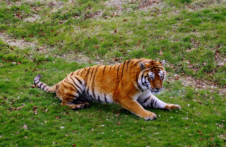 Free Stock Photo of Tiger tiger Created by paul clifton