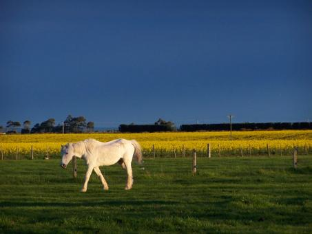 White Horse and Rape - Free Stock Photo