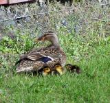 Free Photo - Mallard mother