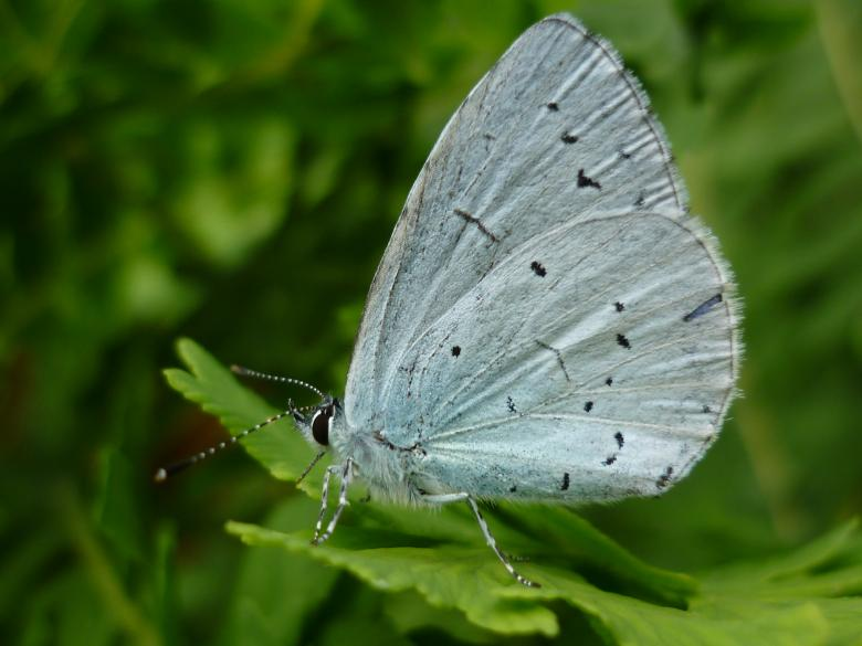Free Stock Photo of Holly blue butterfly Created by paul clifton