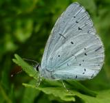 Free Photo - Holly blue butterfly