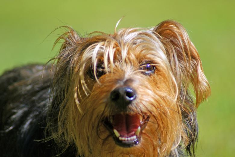 Free Stock Photo of Yorkshire Terrier Created by Brian Norcross