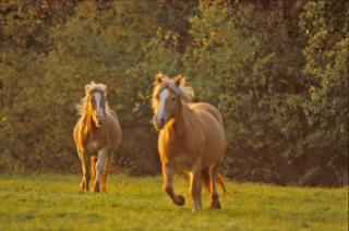 Download Horses Free Photo